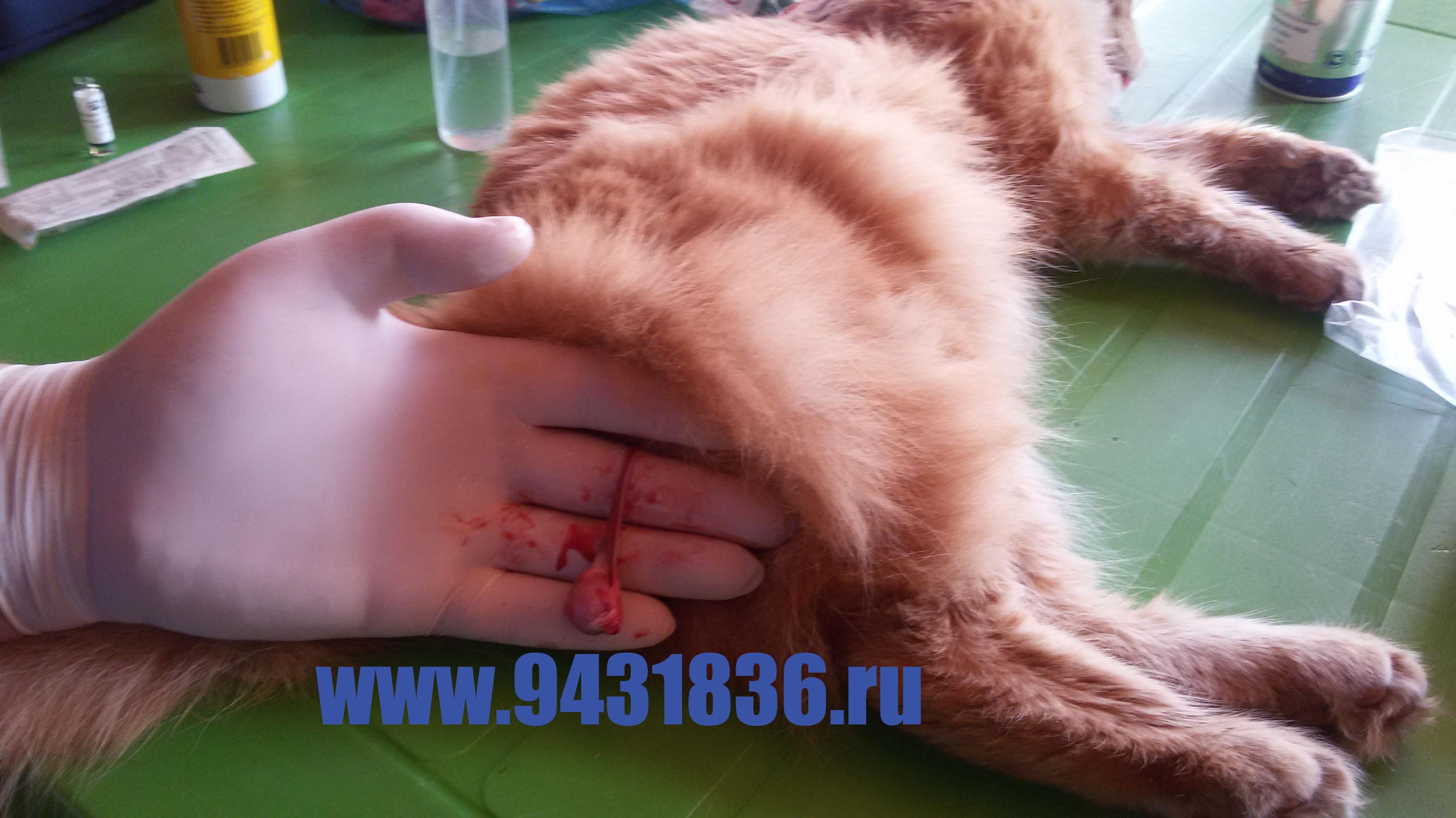 Кастрация котов своими руками 61
